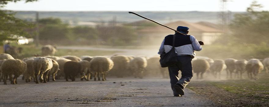 Shepherd_&_Sheep
