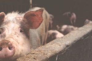 Γουρούνι σε στάβλο